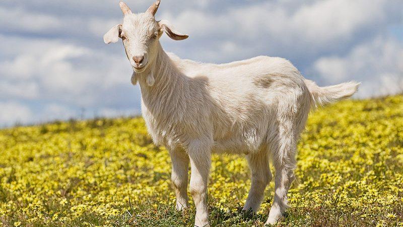 Правильне утримання та розведення кіз