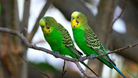 Як визначити вік папуги? Як дізнатися, скільки птахам років за людськими мірками?