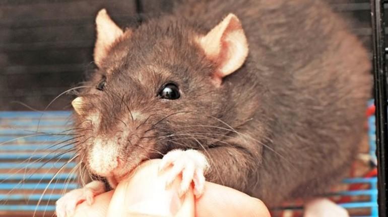Що означає, якщо уві сні вкусив щур: значення для жінки і чоловіки в різних сонники