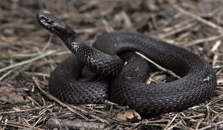 Сниться гадюка: що означає в соннику вбити чорних змій уві сні