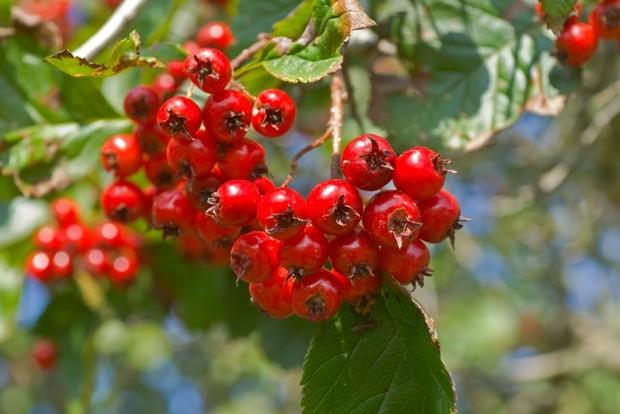 Боярышник: виды, описание, советы по посадке и выращиванию боярышника, рецепты как приготовить боярышник