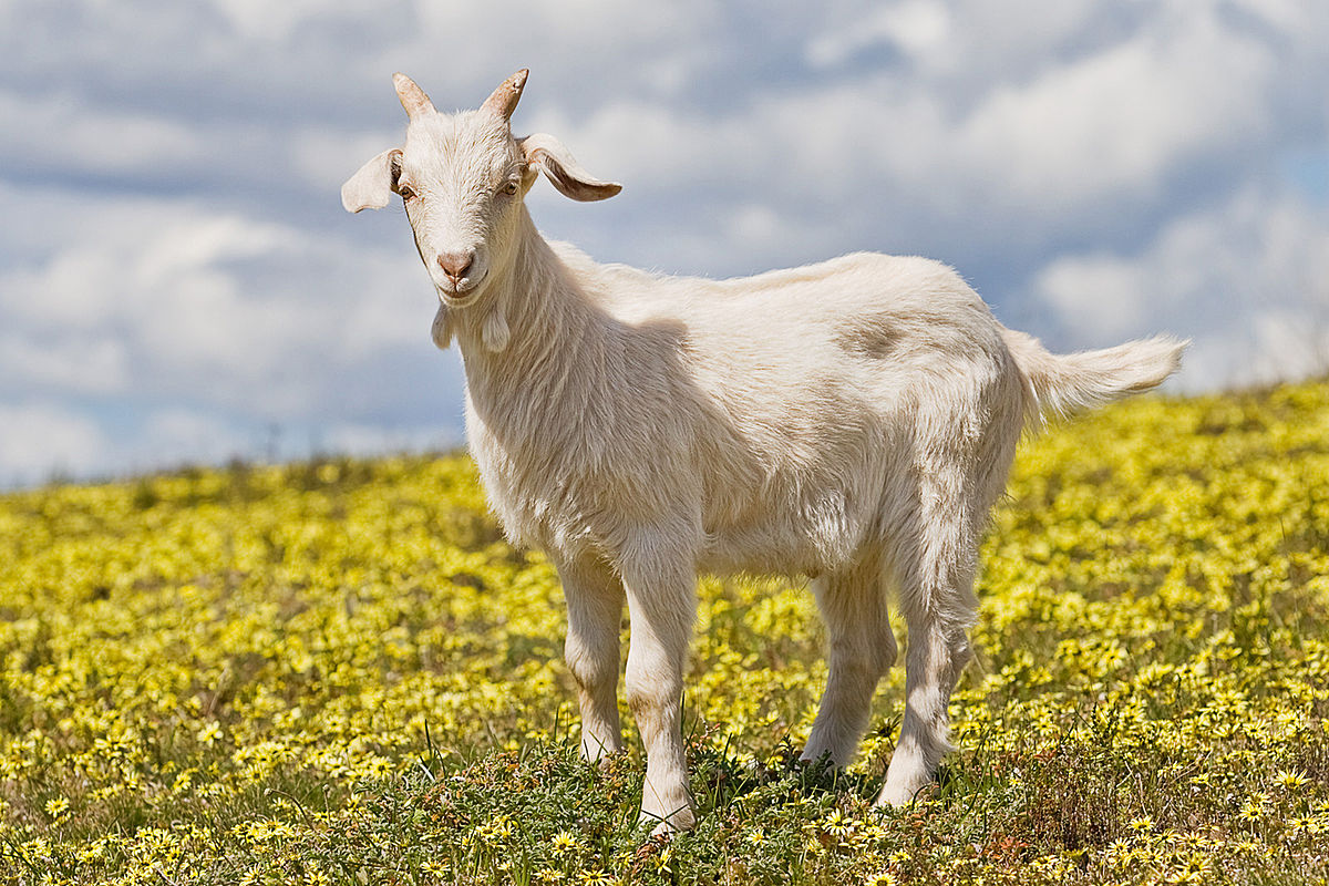 Правильное содержание и разведение коз