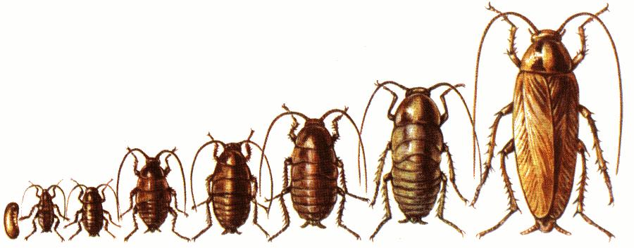 Самодельные средства для борьбы с тараканами в домашних условиях: народные методы