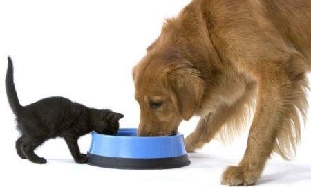 чи Можна годувати кішку собачим кормом? Ніж собачий корм відрізняється від котячого? Давати кішці сухий або вологий собачий корм і шкідливо це?