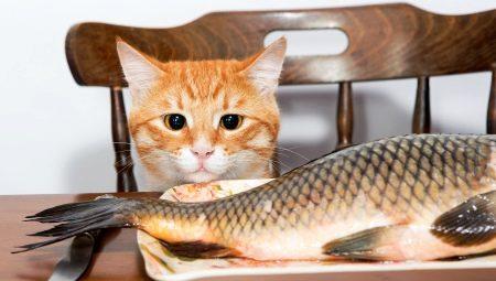 чи Можна годувати кішок рибою? Чи можна давати коту рибку кожен день? Яку рибу можна давати сиру або варену, річкову або морську?