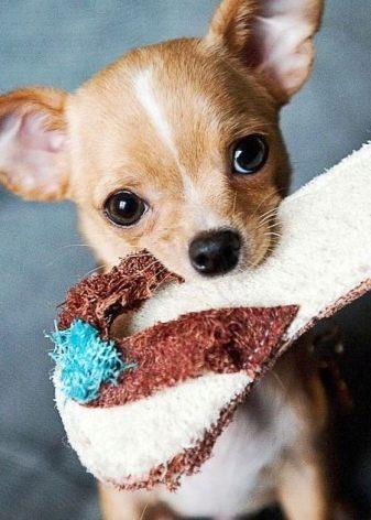 Чихуахуа типу дір (17 фото): стандарт дорослих собак, особливості короткошерстих цуценят. Характер і зміст