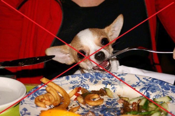 Чихуахуа типу кобби (16 фото): опис, годування і особливості догляду