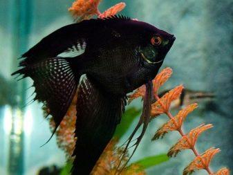 Чорні акваріумні риби (29 фото): назва маленької рибки чорного кольору з червоним хвостом і інших чорних риб в акваріумі, їх опис