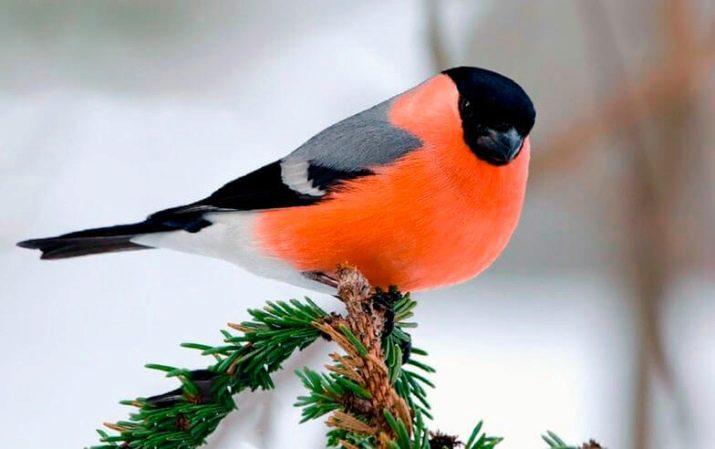 Домашні птахи (36 фото): назви та опис маленьких птахів з червоним дзьобом для домашнього утримання, співочих і самих тихих вихованців