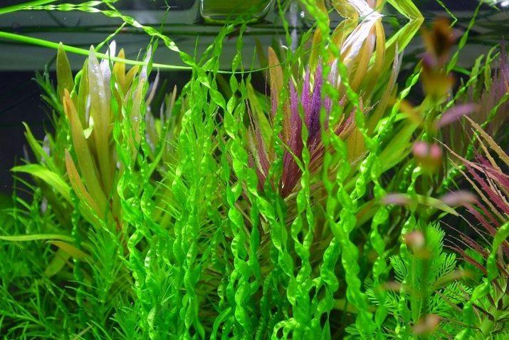 Ехінодорус (17 фото): опис акваріумного рослини, утримання в акваріумі, види ехінодорус ніжний і амазонський