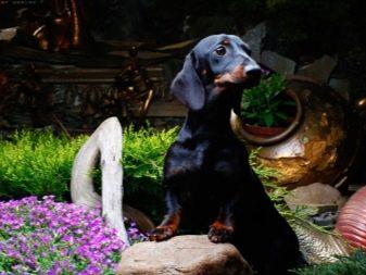 Німецькі породи собак (27 фото): цуценята чорні з назвами, список маленьких порід, німецькі гірські пси