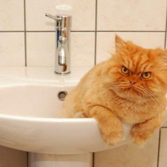 Рудий персидський кіт (16 фото): характеристика, особливості догляду за дорослою особиною і кошеням