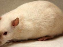 Сіамська щур (20 фото): особливості сіамської щури дамбо, її утримання в домашніх умовах