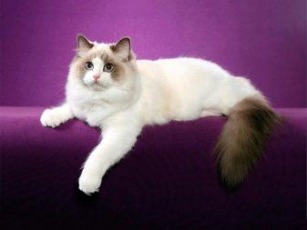 Самі милі кошенята (46 фото): список наймиліших в світі порід кішок. Як вибрати кота?