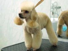 Шерсть пуделя: особливості догляду за шерстю цуценят і дорослих собак