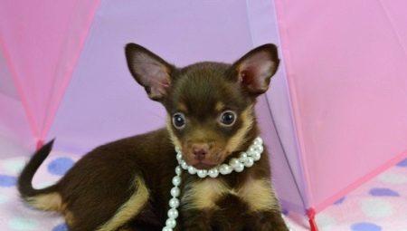 Шоколадні той-тер'єри (22 фото): особливості цуценят коричневого забарвлення, опис російських міні-собак з підпалом
