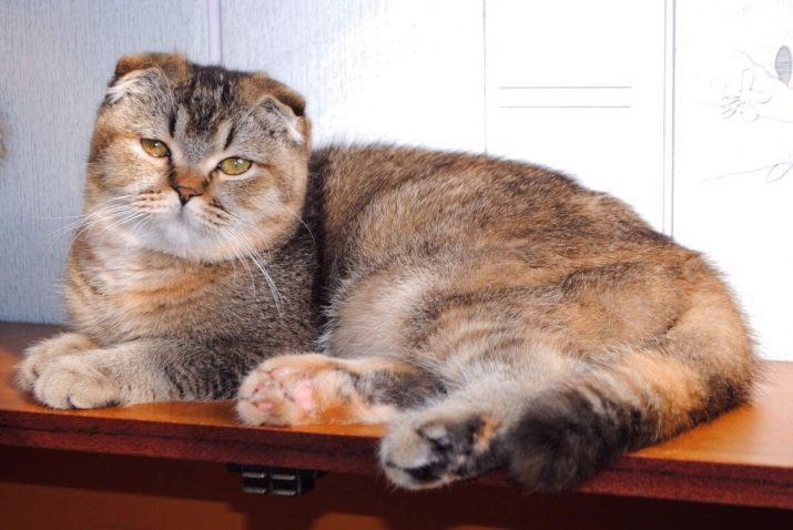 Шотландська кішка золотого забарвлення (14 фото): особливості забарвлення, характеристика породи, особливості догляду за дорослими кішками та кошенятами
