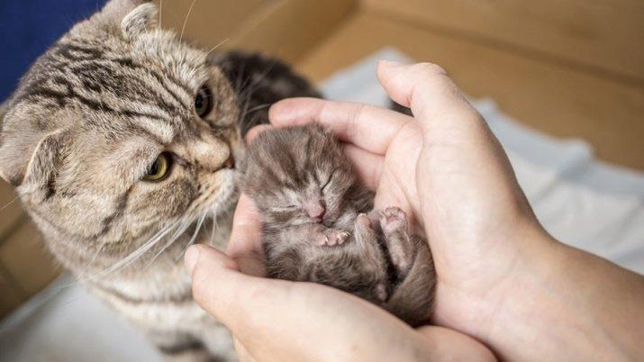 Шотландська висловуха смугаста кішка (13 фото): які існують різновиди забарвлення у смужку? Особливості сірих і коричневих котів з білими смужками