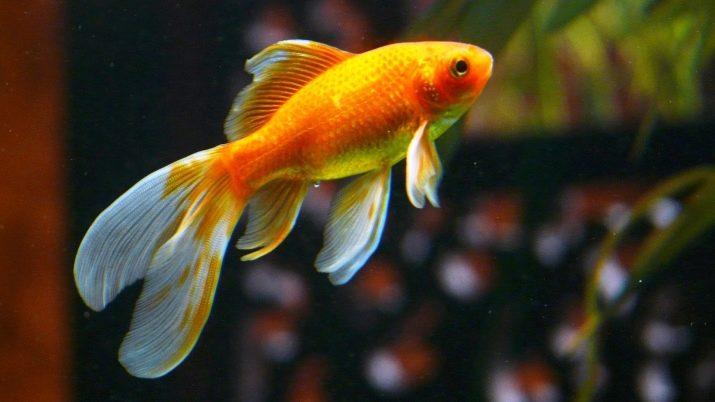 Як відрізнити самку золотої рибки від самця? 13 фото Як правильно визначати стать акваріумних риб? Основні відмінності між самцями і самками
