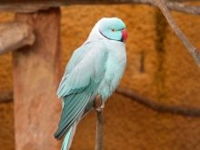 Як визначити вік папугу? Як дізнатися, скільки йому років за людськими мірками?