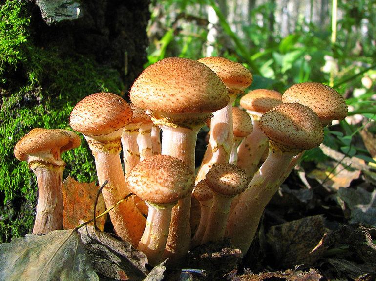 Сни про опеньках: до чого сниться збирати, маринувати або їсти гриби